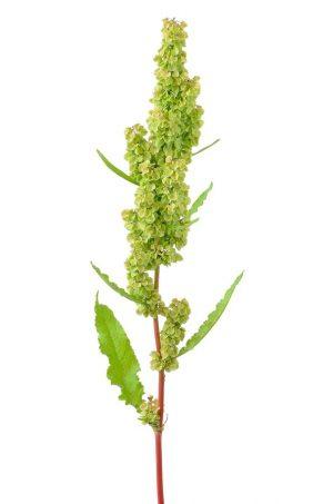 beware-the-japanese-knotweed