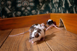 Dealing with Mice in Your Property